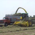 Chopping alfalfa