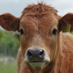 cow-897533__340